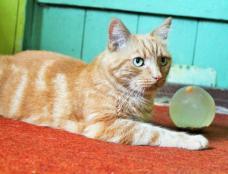 Dovanojamas kastruotas katinėlis