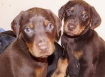 Dobermanų šuniukai
