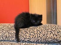 Dovanoju mielą mažą katytę