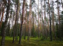 Perka mišką. Miško kaina.